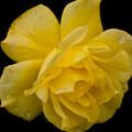 薔薇-京都植物園-9096