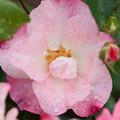 薔薇-京都植物園-9132