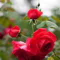 薔薇-京都植物園-9146