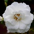 薔薇-京都植物園-9152