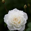 薔薇-京都植物園-9159