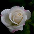 薔薇-京都植物園-9165