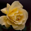 薔薇-京都植物園-9191