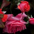 薔薇-京都植物園-9195