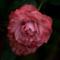 Photos: 薔薇-京都植物園-9206