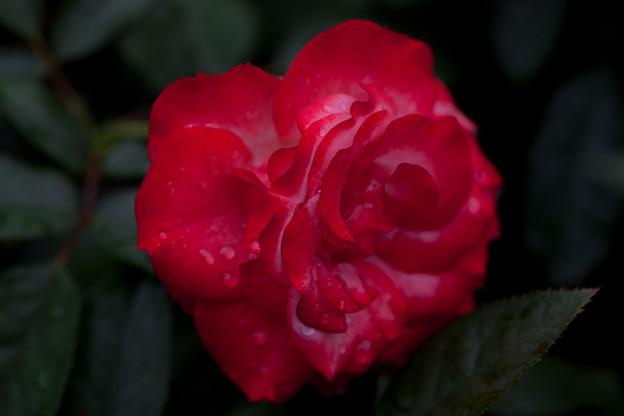 Photos: 薔薇-京都植物園-9208