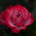 Photos: 薔薇-京都植物園-9219