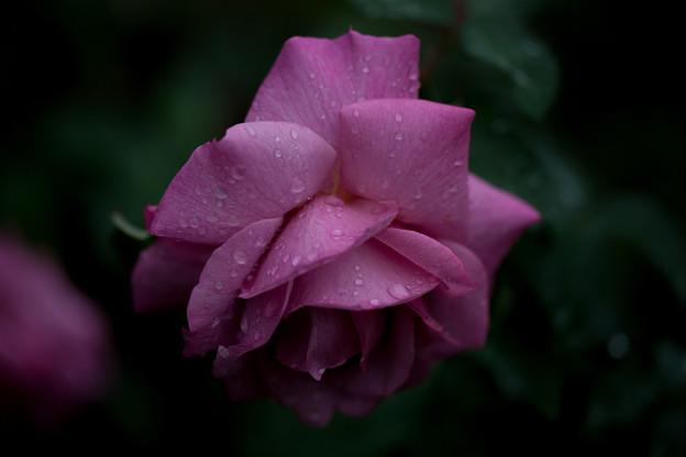 Photos: 薔薇-京都植物園-9224