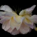 薔薇-京都植物園-9229