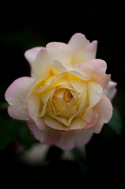 Photos: 薔薇-京都植物園-9231