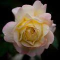 薔薇-京都植物園-9231