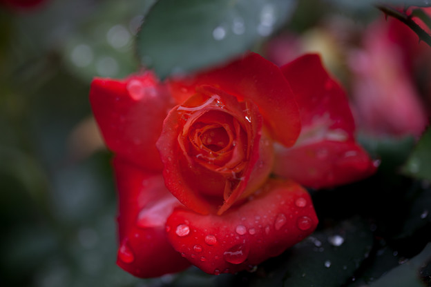 Photos: 薔薇-京都植物園-9233