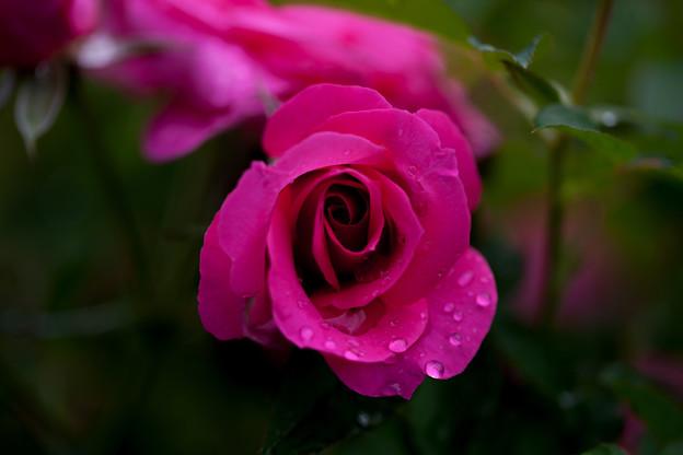 Photos: 薔薇-京都植物園-9245