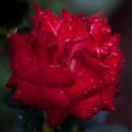 薔薇-京都植物園-9247