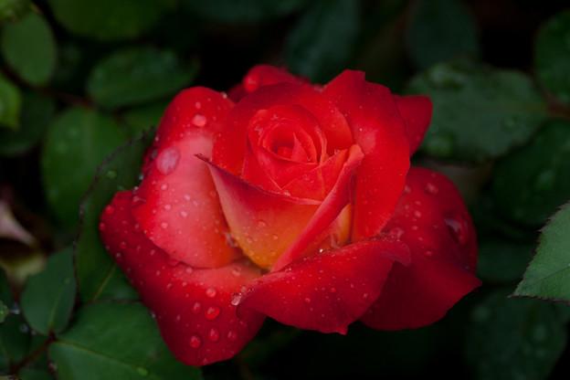 Photos: 薔薇-京都植物園-9249