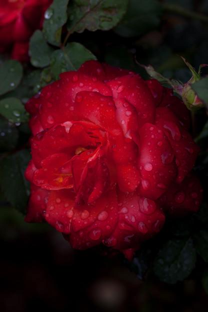 Photos: 薔薇-京都植物園-9250