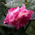 薔薇-京都植物園-9268