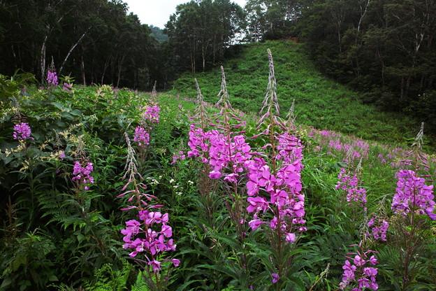 ヤナギランの咲く森