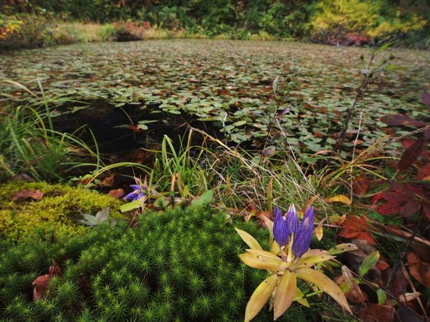 リンドウの咲く沼