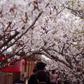 Photos: 仁和寺の桜