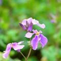 写真: _DSC9159紫花菜