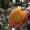 最後の薔薇?