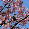 写真: 河津桜と・・・