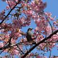 河津桜と・・・