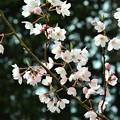 Photos: 山桜?