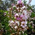 Photos: 街路樹が咲いた・1