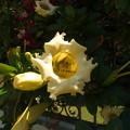 「ウコンラッパ花」始めて見る美しい花。1