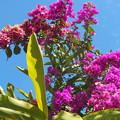 写真: 碧空とブーゲンビリアの花。