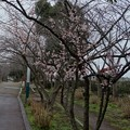 河津桜@海老川ジョギングロードDSC06345