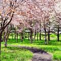 Photos: 桜の杜