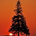 Photos: クリスマスツリーの木と夕日
