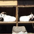 写真: 山羊