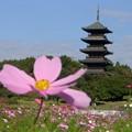 Photos: 五重の塔にコスモス