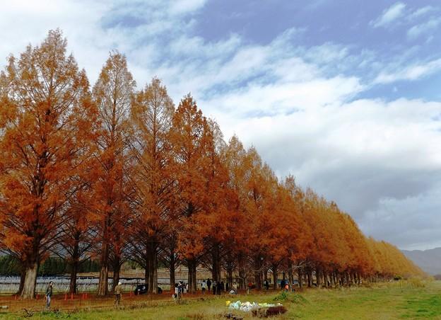 マキノ町メタセコイア並木(4)