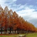 写真: マキノ町メタセコイア並木(4)