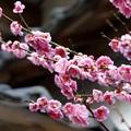庭の梅(4)