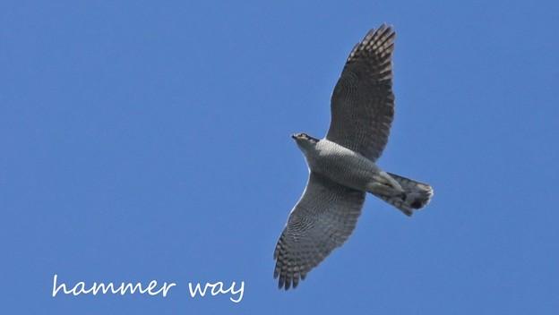 秋空の白鷹
