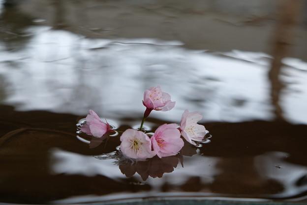 写真: 送別の寒桜