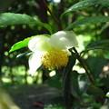 Photos: 「お茶の花」・・・・