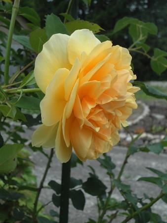 名残りの薔薇と…