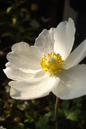 白い花は…