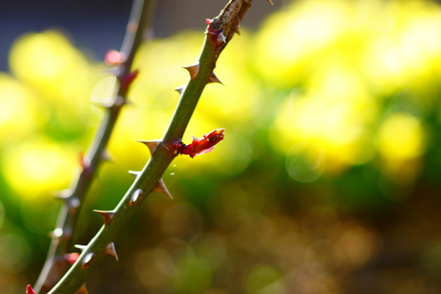 バラの新芽と水仙