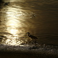 Photos: 逆光之白鷺鷥