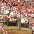 中山競馬場桜