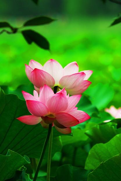 ハスの花 (2)