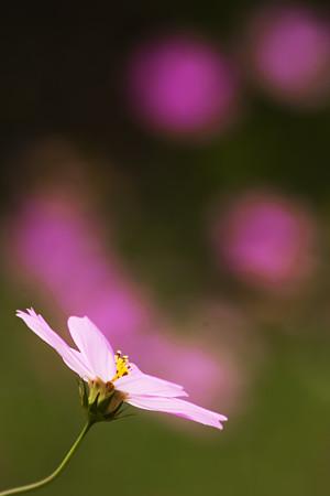 秋桜の灯り